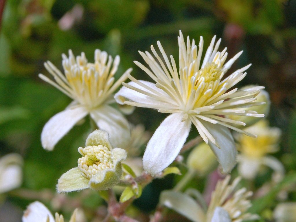 Clematis Vitalba | Plantas colgantes, Trepadoras, Plantas
