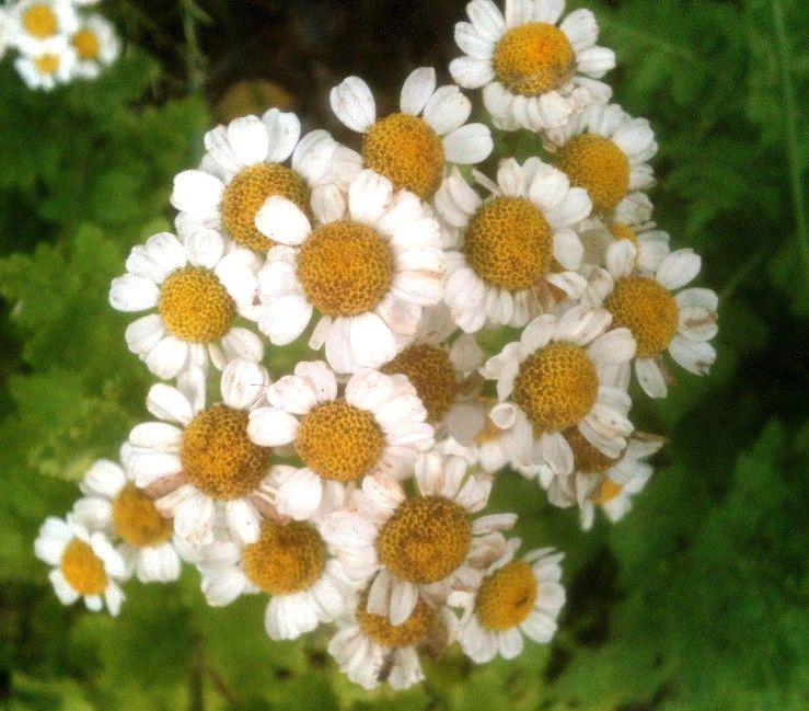 Feverfew 250 Seeds Medicinal Herb Daisy Flowers Garden Treats Fever Headaches Medicinal Herbs Feverfew Treat Fever