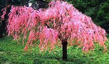 Weeping Cherry Blossom Tree Cherry Blossom Tree Small Garden Prunus