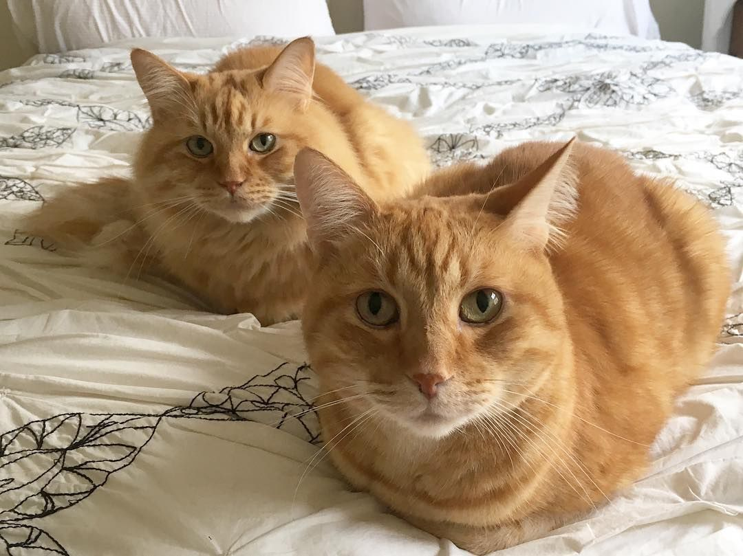Why Do Cats Sit In The Bread Loaf Position It S A Question That Has Plagued Humans Since Ancient Egyptians First Star Cats And Kittens Cat Sitting I Love Cats