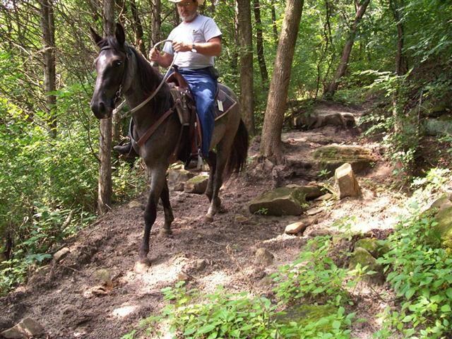 Kentucky Montain Saddle Horse. Franklin Creek. Horses