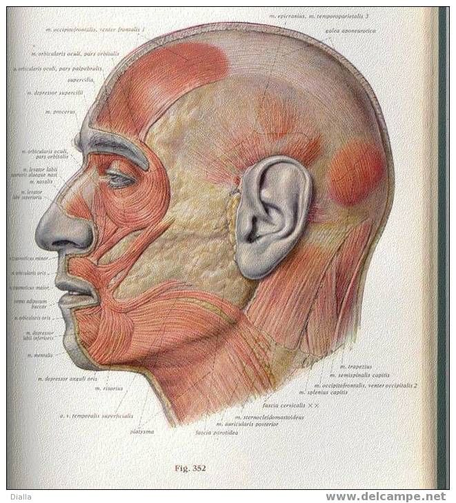 head - Sobotta atlas of human anatomy | Drawing Board | Pinterest ...