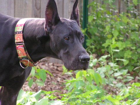 Adopt Tess On Great Dane Rescue Black Great Danes Great Dane Dogs
