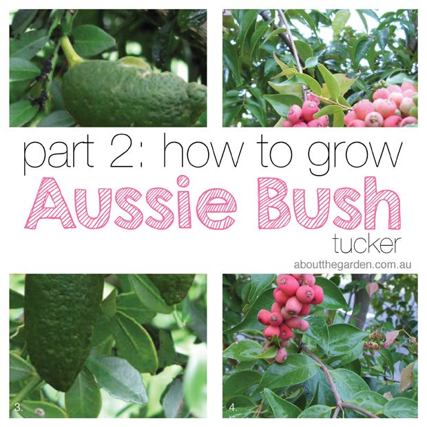 Growing Australian Native Plants: Grow Australian Native Indigenous Bush Food In Your Garden