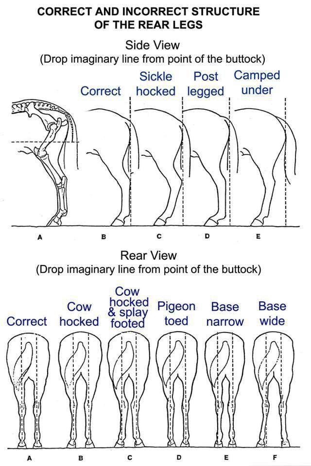 equine limb anatomy | Horse Leg Conformation - #horse | Horse ...