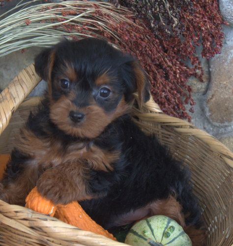 Black And Brown Yorkie Poo Puppy Poodle Mix Breeds Yorkie Poo Puppies Dog Breeds