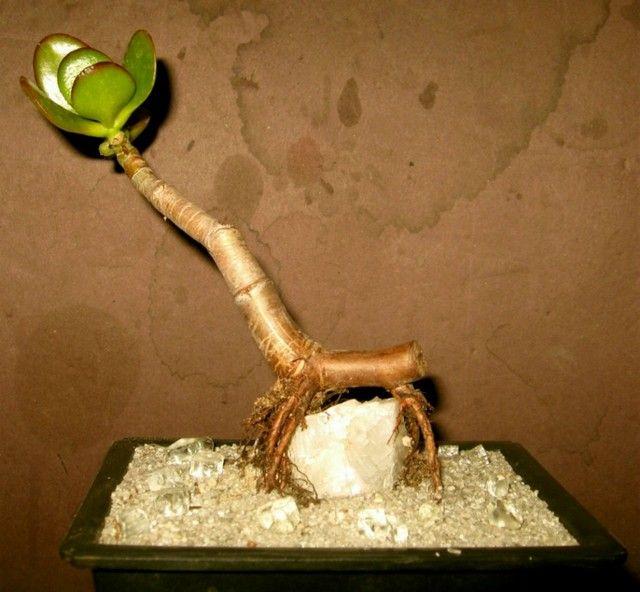 Crassula as bonsai over a rock root a cutting in a for Soil xat cut off