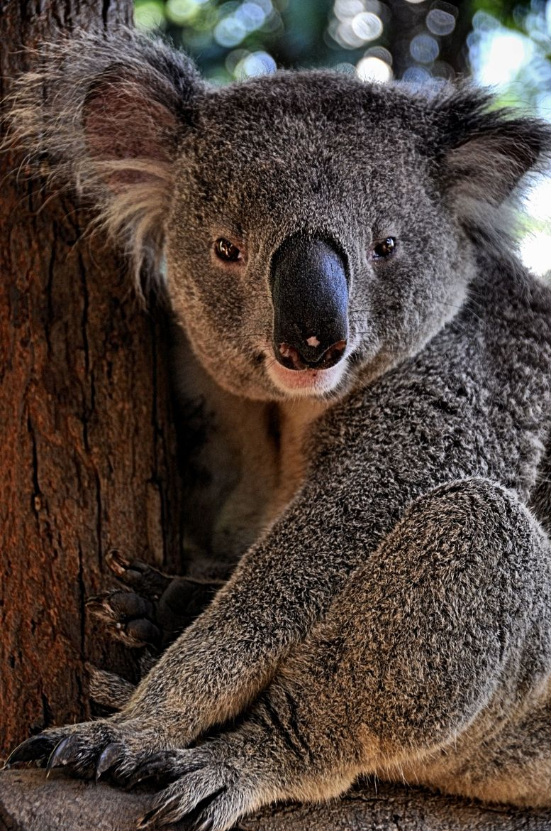 Koala, Taronga Zoo, Australia Amazing animal pictures