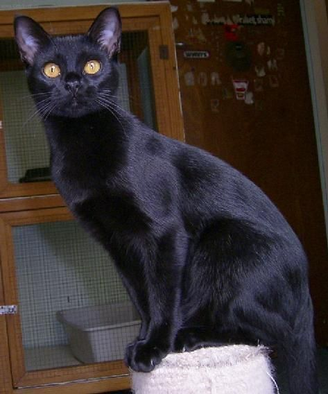 Popular Cat Breeds And Interesting Facts Popular Cat Breeds Cat Breeds Bombay Cat