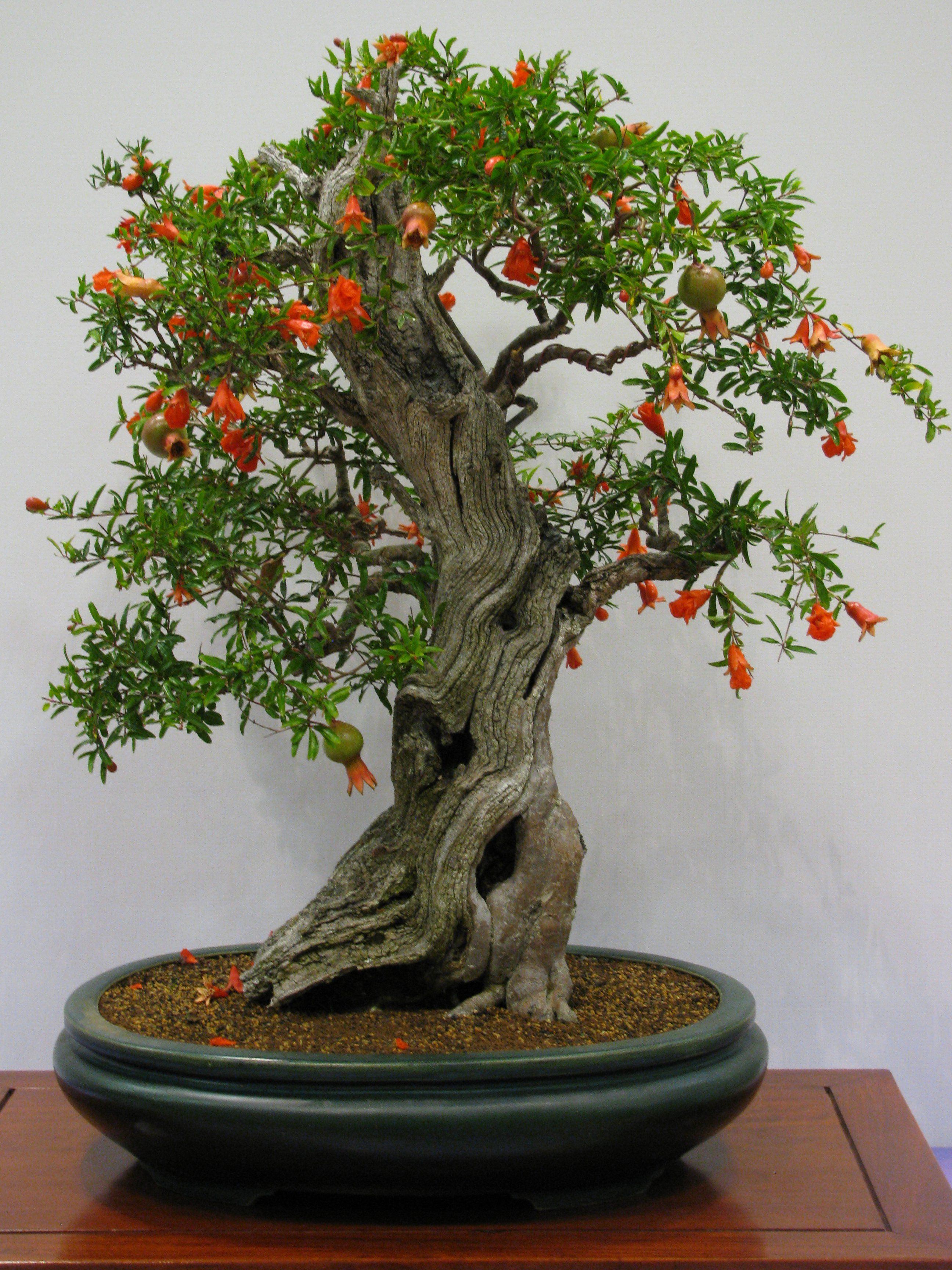 pomegranate bonsai tree google search bonsai pinterest bonsai bonsai baum und bonsai. Black Bedroom Furniture Sets. Home Design Ideas