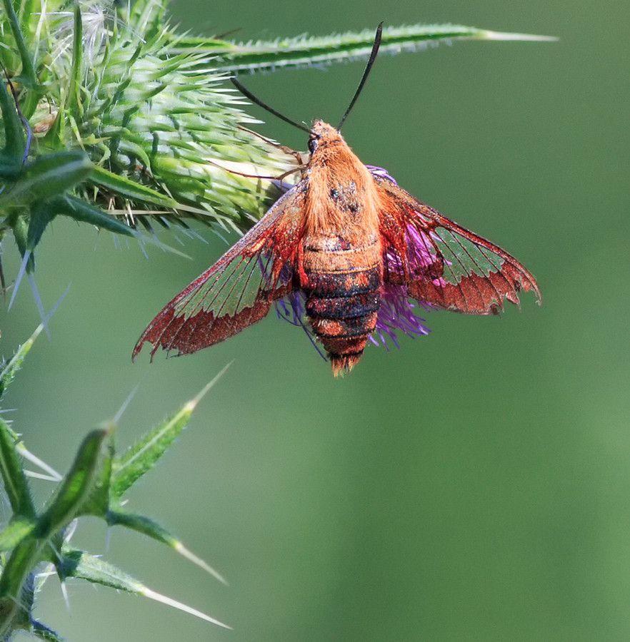ClearWing Hummingbird Moth by Michael Wayne on 500px