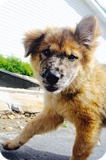 Lebanon Tn Australian Cattle Dog Chow Chow Mix Meet Makeda A