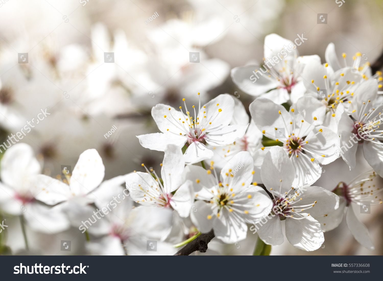 White Cherry Flowers In Spring During The Flowering Plants Photo