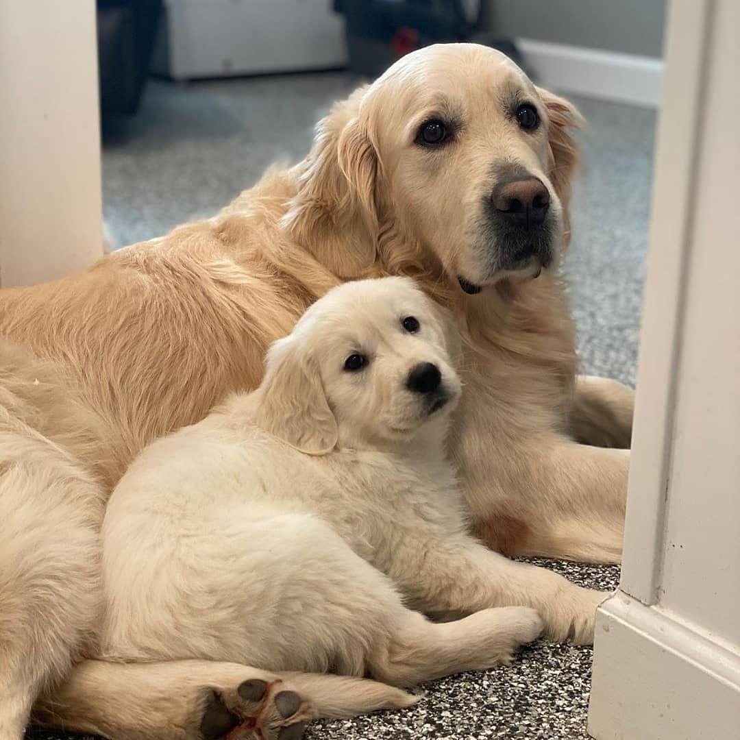 Golden Retriever Vs Labrador Retriever Vs German Shepherd Pros Cons In 2020 Golden Retriever Golden Retriever Vs Labrador Retriever Dog