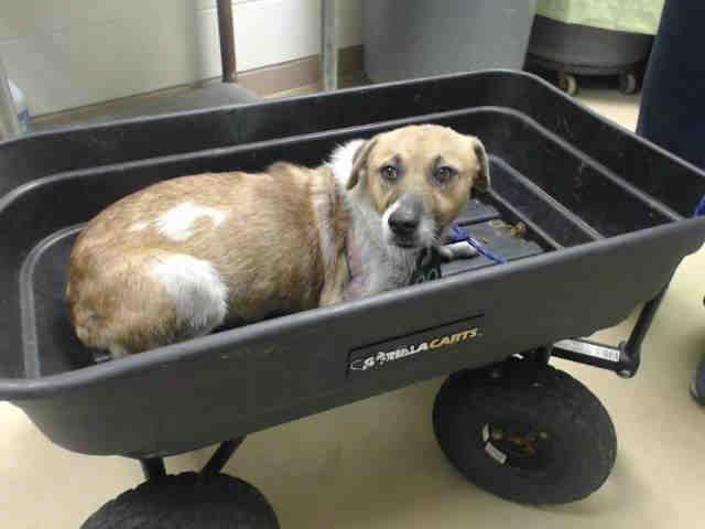 Chevy Houston Texas Petharbor Com Animal Shelter Adopt A Pet