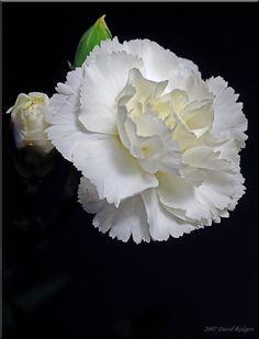 Chi omega white carnation pinterest carnation chi omega white carnation mightylinksfo