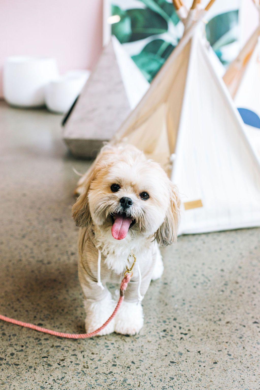 Shop dog, Finn Shih Tzu x Maltese, Found My Animal Blush