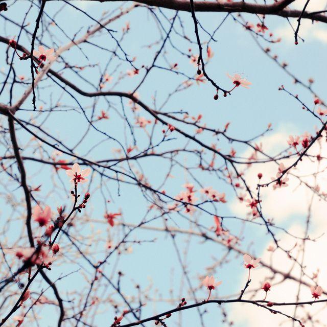 Sakura, via Flickr.