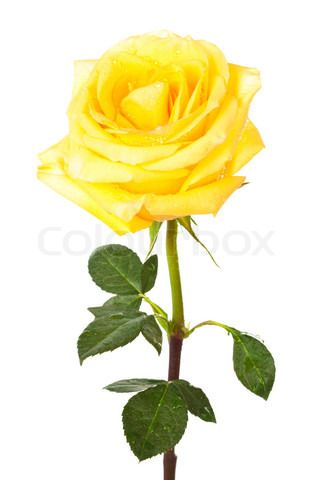 Image of 'single yellow rose on a white background' on Colourbox