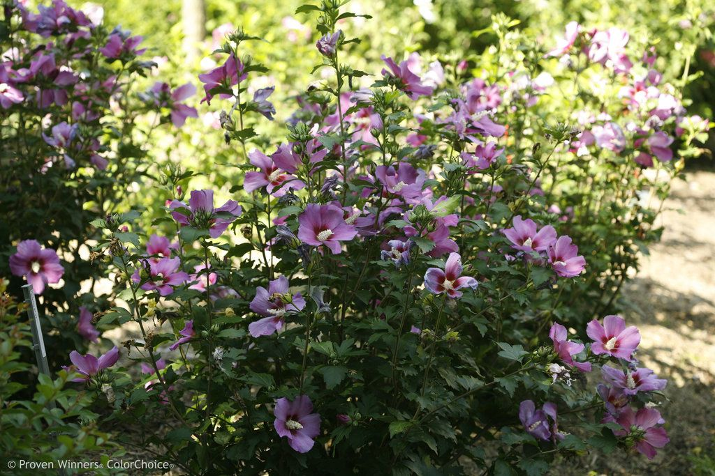 Hibiscus Syriacus Rose Of Sharon Zone 5 Flowers Pink Purple And