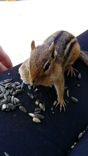 Video of chip the chipmunk