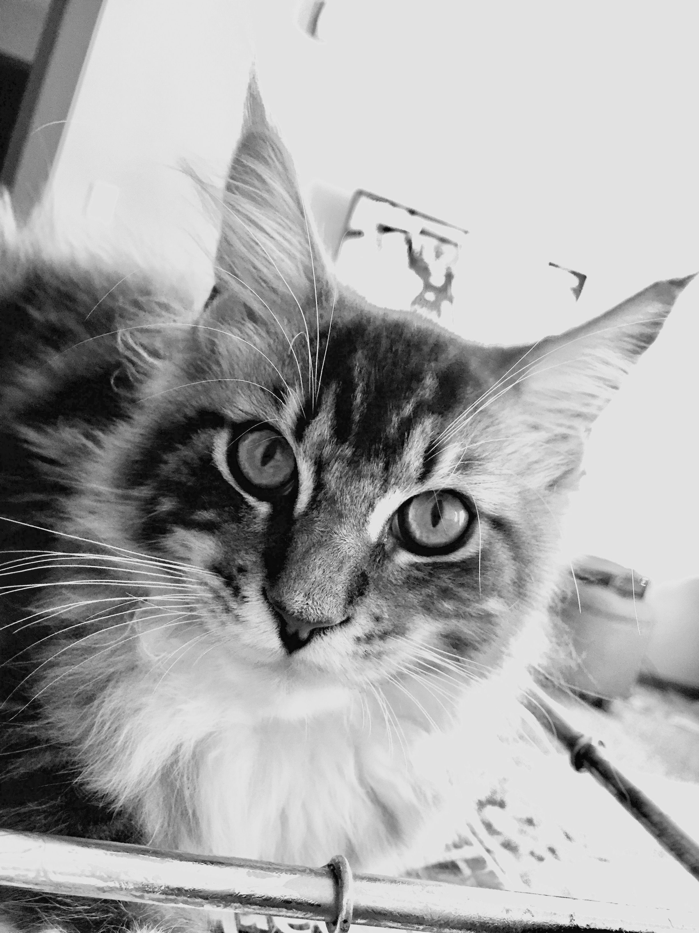 Pin by michelle provence dotson on maine coon kitties pinterest