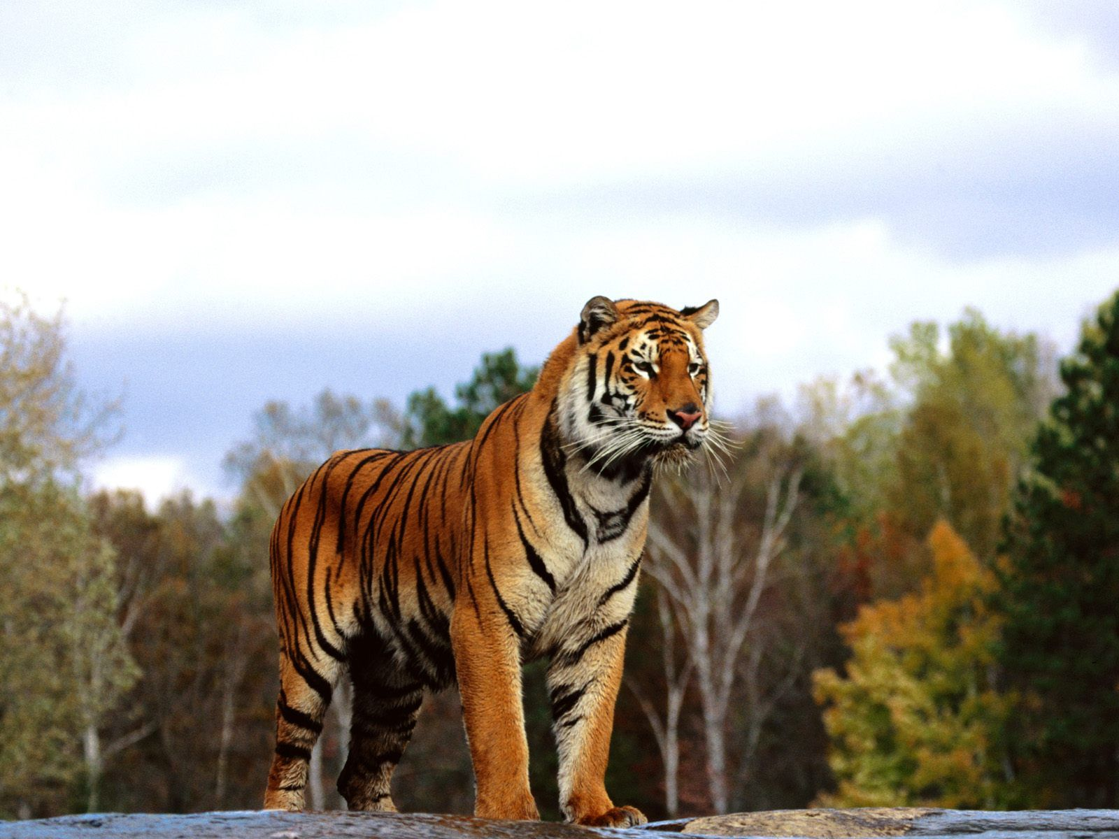 Royal bengal tiger is a great wallpaper for your computer desktop and - Click Here To Download In Hd Format Regal Bengal Wallpapers Http