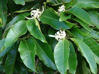 Magnolia Magnolia Trees Magnolia Planting Herbs