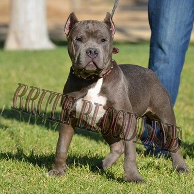 Brute Bloodline Tri Color Bully Pitbull Puppies Remyline Breeder Pitbulls Pitbull Puppies Bully Pitbull