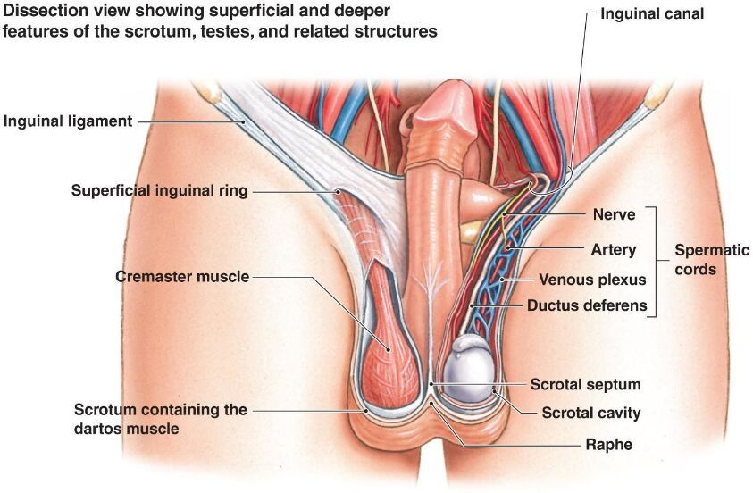 Image Result For Inguinal Canal Male Reproductive System Science