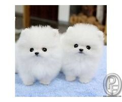 Pomeranian Puppy For Sale In Mumbai Maharashtra India In Pet Animals And Accessories Category Under B Pomeranian Puppy Teacup Cute Animals Cute Funny Animals