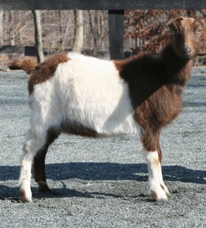 dairy goats | Dairy goats, Goats, Animals