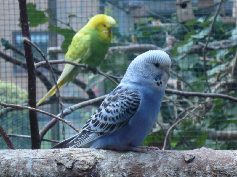 Gebe Wellensittiche In Verschiedenen Farben Gelb Grun Blau Turkis