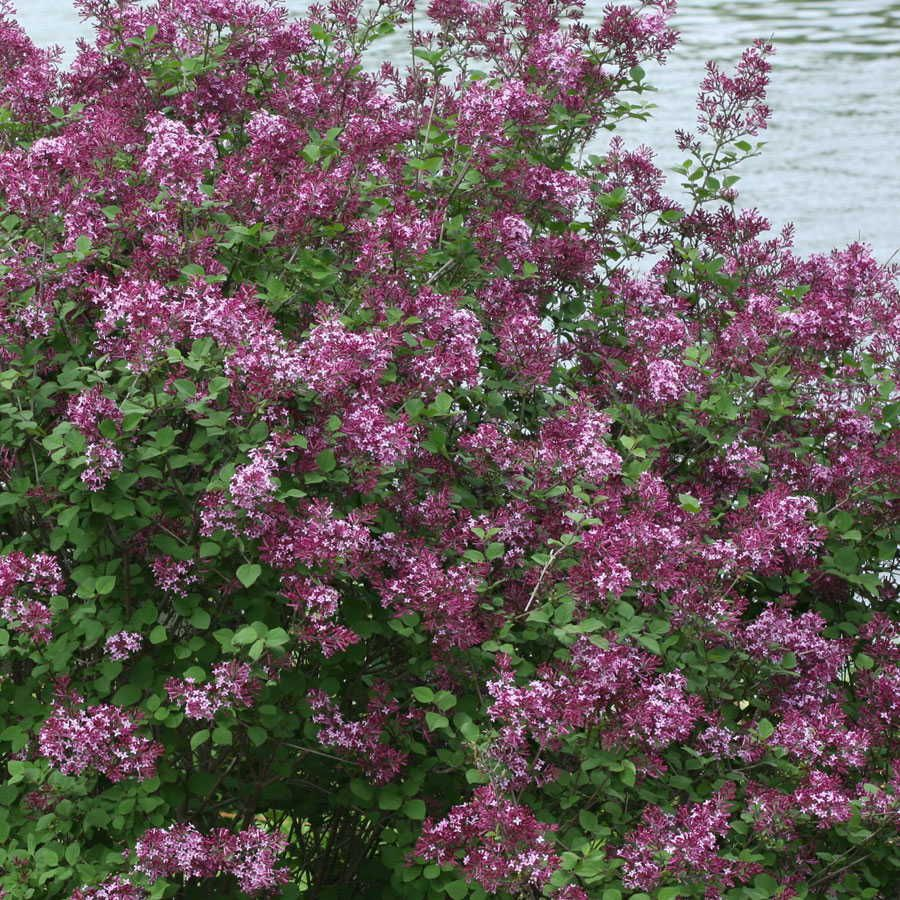 Bloomerang Dark Purple Syringa Shade Perennials Purple Shrubs Long Blooming Perennials