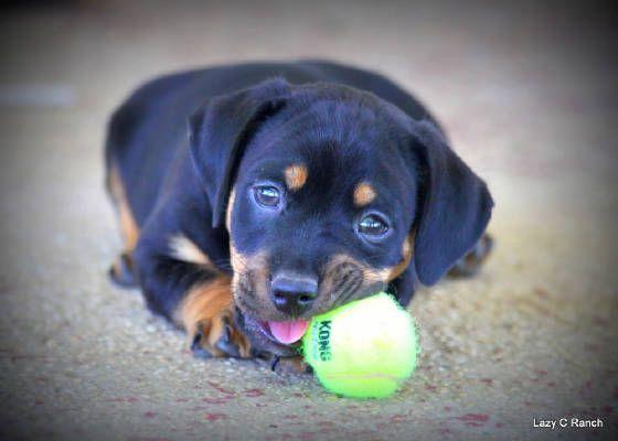 American Hunt Terrier Puppy Black Tan Jack Russell Black