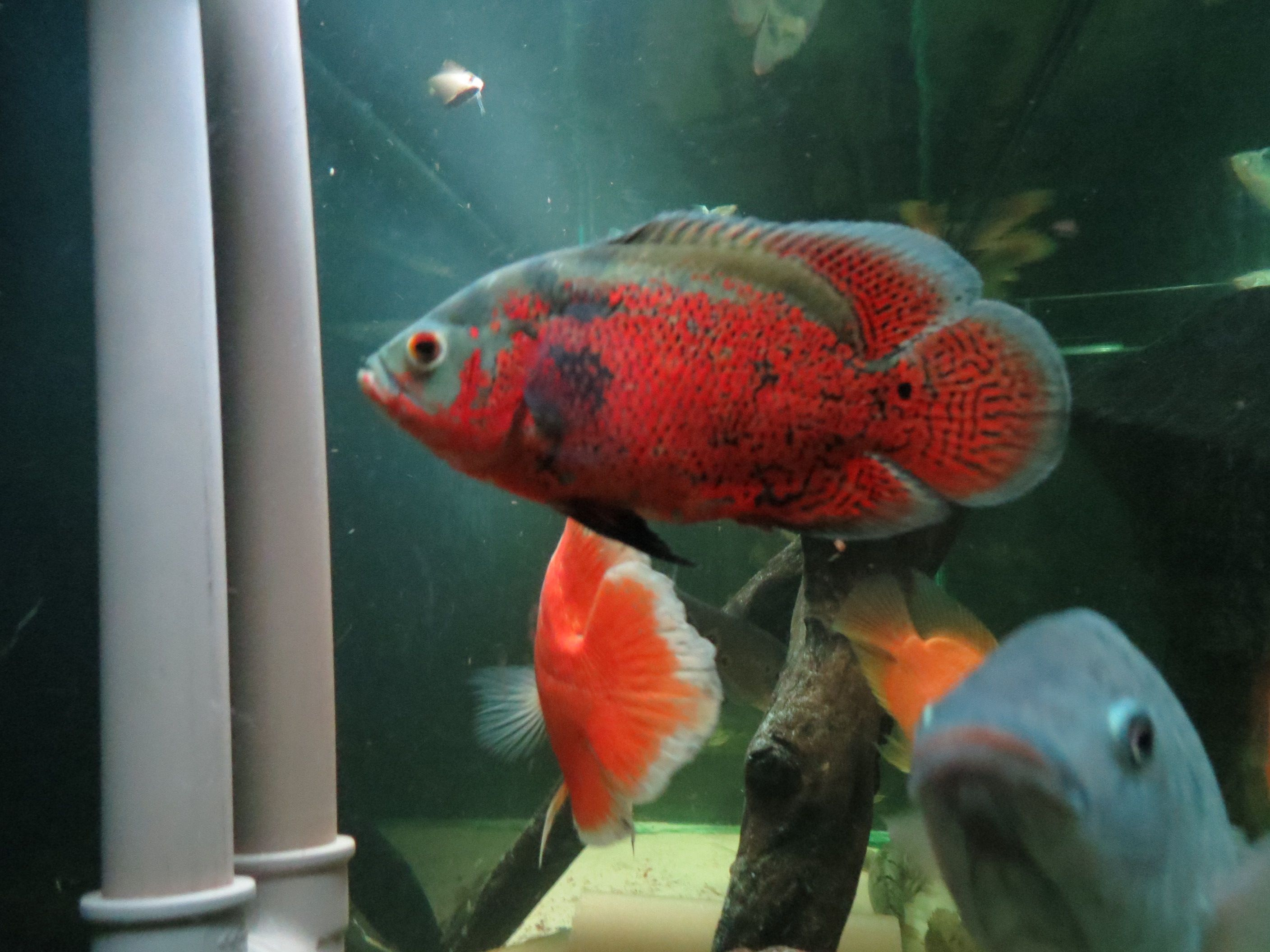 Super Red Oscar | aquariums | Pinterest | Fish, Oscar fish and Aquariums