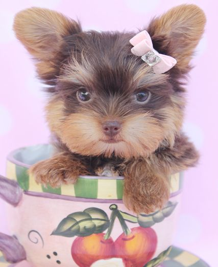 Chocolate Yorkie Puppies For Sale At Teacups Puppies In South