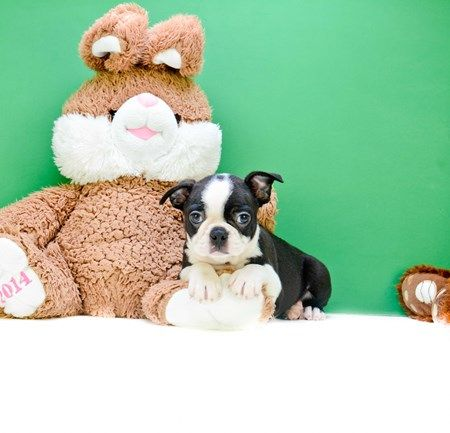 Find Our Mini Teacup Puppies At Dc Pups An Authorized Breeder In