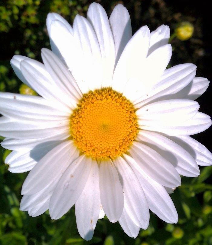 Quotes About Daisies Flower Daisy Flower Quotes Quotesgram