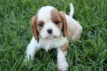 Cavalier King Charles Spaniel Puppies For Sale Parknee Kennels Dogs4sale Australia Cavalier King Charles Cavalier King Charles Spaniel Dog Breeds
