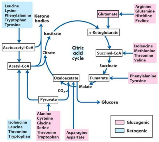 Glycolysis Diagram With Carbohydrates Lipids And Amino Acids Google Search Biochemistry Biochemistry Notes Chemistry