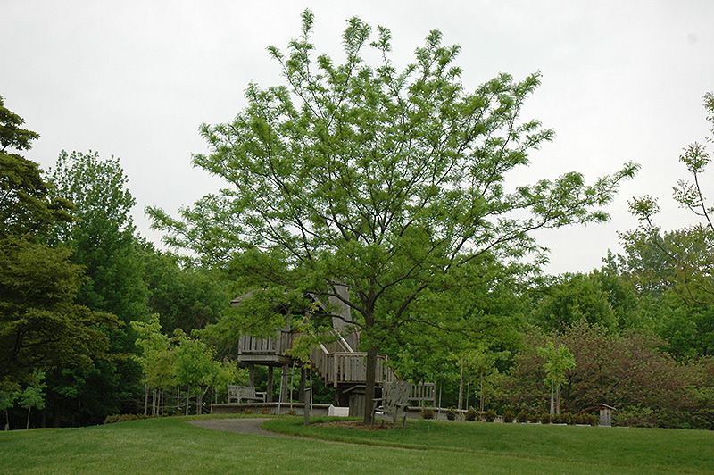 Imperial Honeylocust Gleditsia triacanthos Impcole at