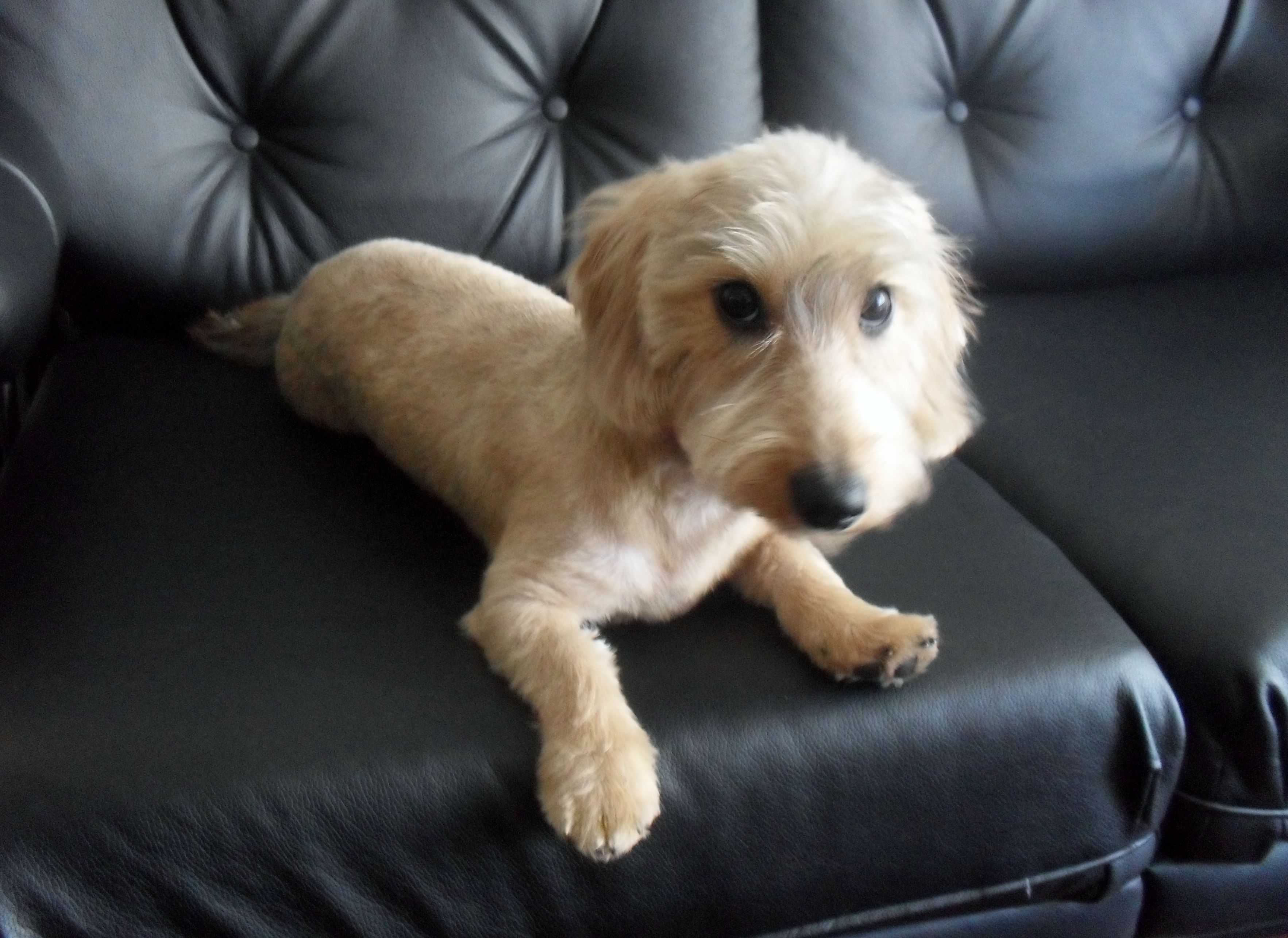 Haircut Dog Haircuts Wire Haired Dachshund Doxie Dogs