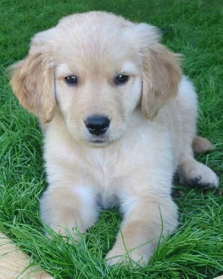 Precious golden retriever puppy