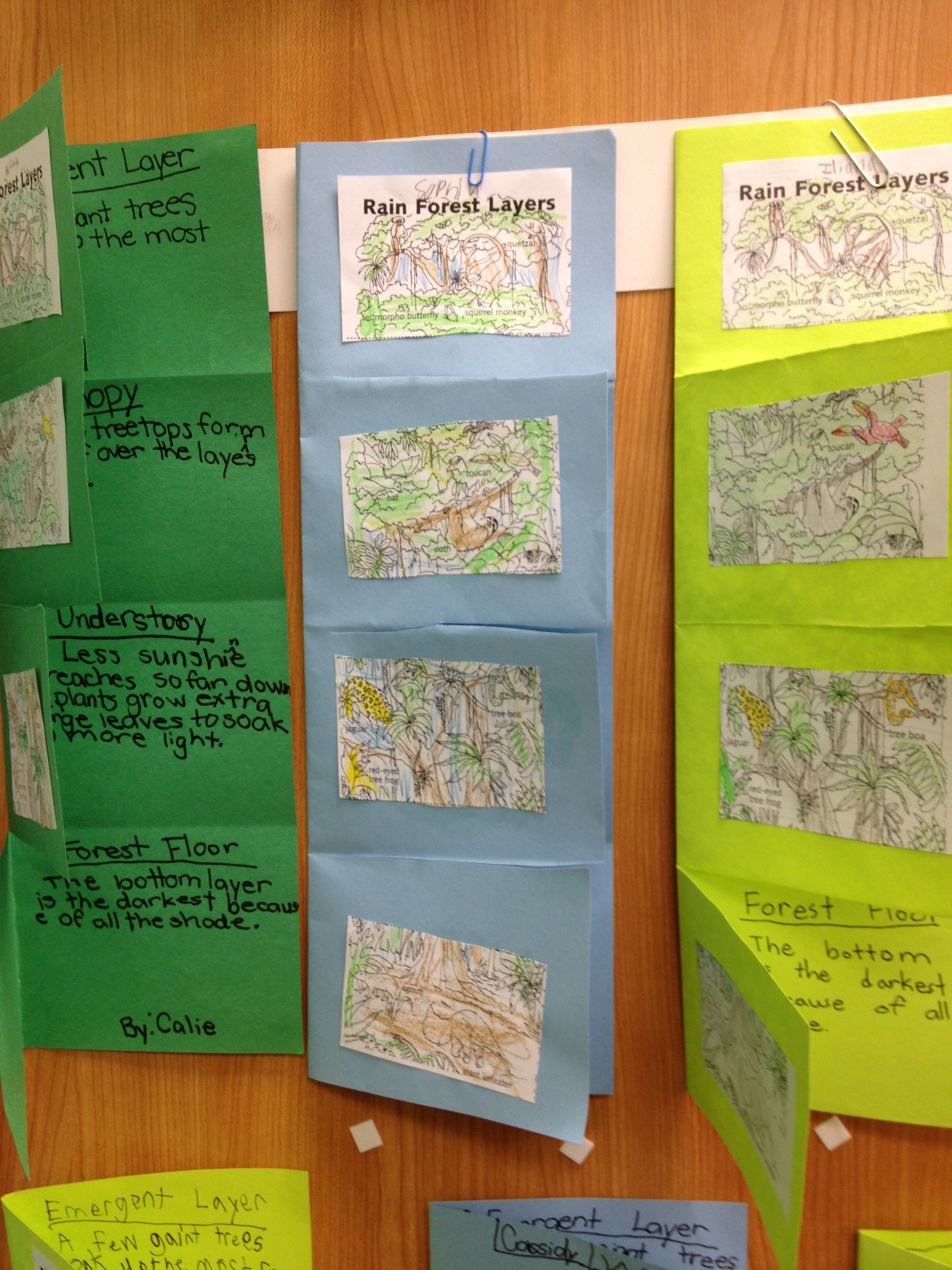 Layers Of Rain Forest Foldable