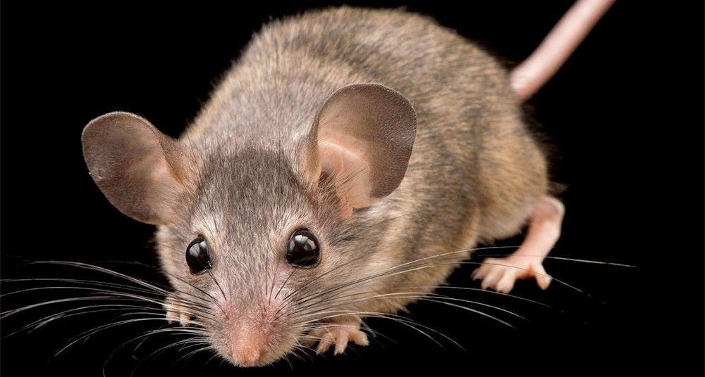 Ratón del desierto