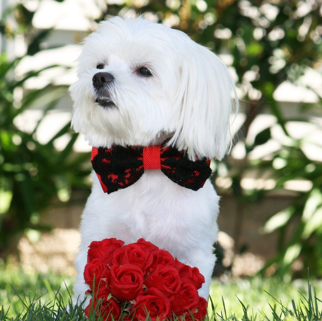 #Red #Wedding #dog #bow #tie #collar, #Dogs #Birthday #Gift, #Handmade, Red  #Lovers