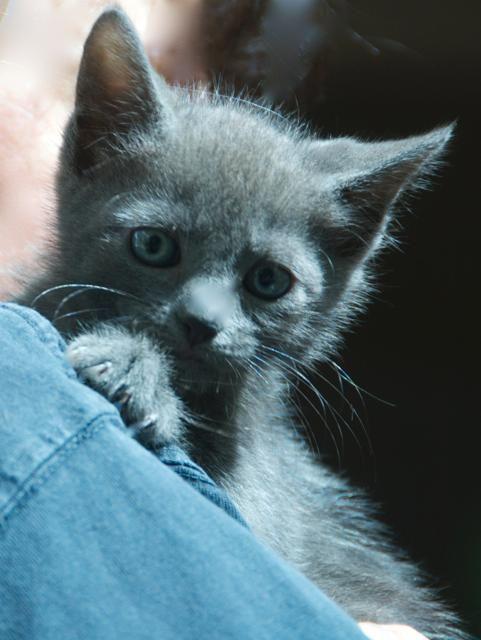 Adopt Russian Blue Male Kitten On Petfinder Russian Blue Russian Blue Kitten Kitten