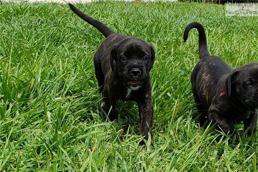 Cane Corso Mastiff puppy for sale near Ft Myers / SW