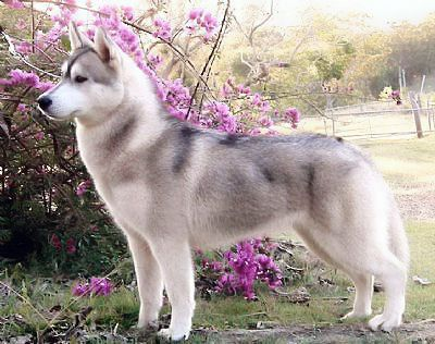 Siberian Husky Wolf Gray Siberian Husky Husky Puppy Husky